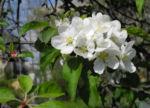 Kirsch Apfel Bluete weiss Malus prunifolia 06
