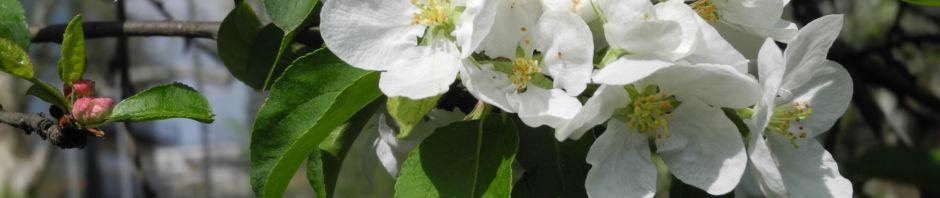Anklicken um das ganze Bild zu sehen Kirsch-Apfel Blüte weiß Malus prunifolia