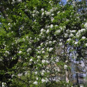Kirsch Apfel Bluete weiss Malus prunifolia 07