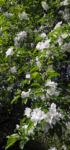 Kirsch Apfel Bluete weiss Malus prunifolia 08