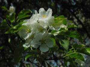 Kirsch Apfel Bluete weiss Malus prunifolia 09