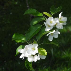 Kirsch Apfel Bluete weiss Malus prunifolia 10