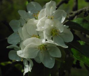 Kirsch Apfel Bluete weiss Malus prunifolia 11