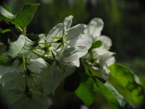 Kirsch Apfel Bluete weiss Malus prunifolia 13