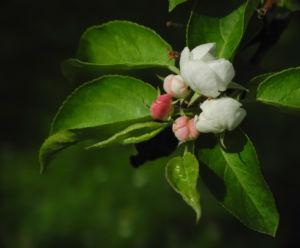 Kirsch Apfel Bluete weiss Malus prunifolia 15