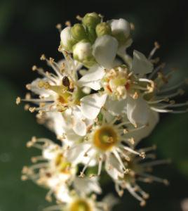 Kirsch Lorbeer Lorbeerkirsche Beeren schwarz Prunus Laurocerasus 02