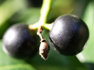 Kirsch Lorbeer Lorbeerkirsche Beeren schwarz Prunus Laurocerasus 05