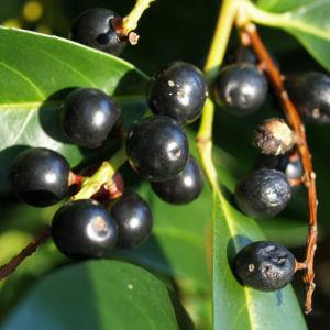 Kirsch Lorbeer Lorbeerkirsche Beeren schwarz Prunus Laurocerasus 07