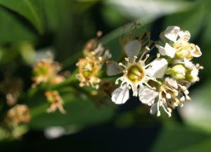 Kirsch Lorbeer Lorbeerkirsche Beeren schwarz Prunus Laurocerasus 10