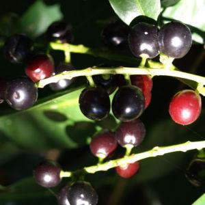 Kirsch Lorbeer Lorbeerkirsche Beeren schwarz Prunus Laurocerasus 12