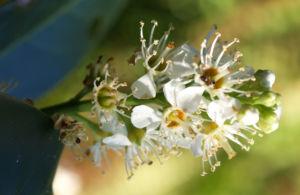 Kirsch Lorbeer Lorbeerkirsche Beeren schwarz Prunus Laurocerasus 13