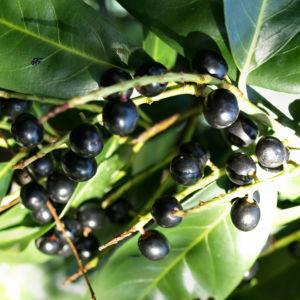 Kirsch Lorbeer Lorbeerkirsche Beeren schwarz Prunus Laurocerasus 14