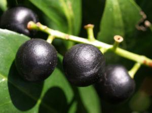 Kirsch Lorbeer Lorbeerkirsche Beeren schwarz Prunus Laurocerasus 16