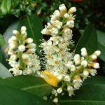 Kirsch Lorbeer Prunus laurocerasus 02