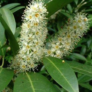Bild: Kirsch Lorbeer Prunus laurocerasus