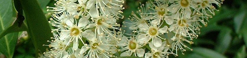 Anklicken um das ganze Bild zu sehen Kirschlorbeer Blüte weiß Prunus laurocerasus