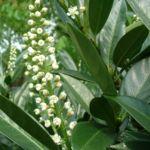 Kirsch Lorbeer Prunus laurocerasus 04
