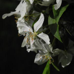 Kirschapfel Baum Bluete weiss Malus baccata 22