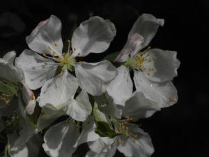Kirschapfel Baum Bluete weiss Malus baccata 27