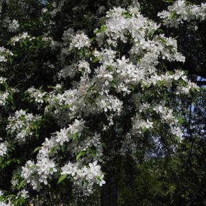 Kirschapfel Baum Bluete weiss Malus baccata 29