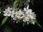 Bild: Kirschapfel Blüte weiß Malus baccata