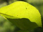 Kirschapfel Baum Frucht rot Malus baccata 02