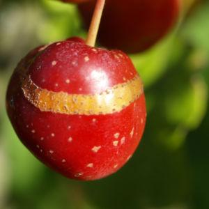 Kirschapfel Baum Frucht rot Malus baccata 06
