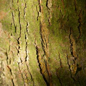 Kirschapfel Baum Frucht rot Malus baccata 07