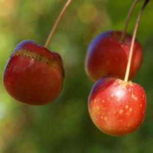 Kirschapfel Baum Frucht rot Malus baccata 09