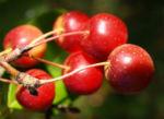Kirschapfel Baum Frucht rot Malus baccata 10
