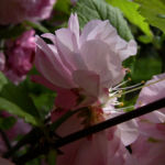 Kirschbaum Bluete rosa Prunus Pink perfection 01