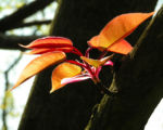 Kirsche Baum Blatt roetlich Prunus ssiori 01