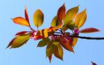 Kirsche Baum Blatt roetlich Prunus ssiori 02