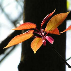Kirsche Baum Blatt roetlich Prunus ssiori 03