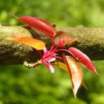Kirsche Baum Blatt roetlich Prunus ssiori 04