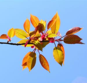 Kirsche Baum Blatt roetlich Prunus ssiori 05