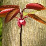 Kirsche Baum Blatt roetlich Prunus ssiori 06