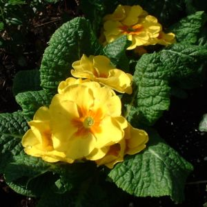 Kissen-Primel Blüte gelb Primula vulgaris