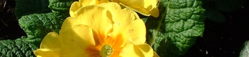 Anklicken um das ganze Bild zu sehen  Kissen-Primel Blüte gelb Primula vulgaris