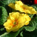 Kissen Primel gelb Primula vulgaris 03
