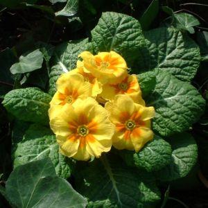 Kissen Primel gelb Primula vulgaris 04