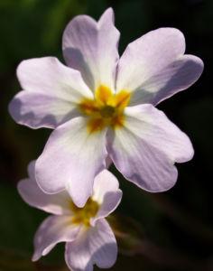 Bild: Kissenprimel Bluete lila Primula vulgaris