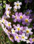 Kissenprimel Bluete lila Primula vulgaris 03