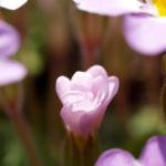 Kissenprimel Bluete lila Primula vulgaris 05