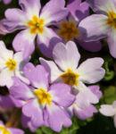 Kissenprimel Bluete lila Primula vulgaris 06