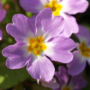 Kissenprimel Bluete lila Primula vulgaris 07