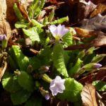 Kissenprimel Primula vulgaris 03