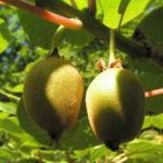 Kiwi Frucht braeunlich Blatt gruen Actinidia chinensis 01