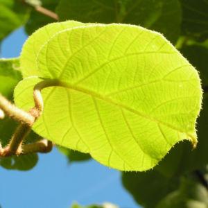 Kiwi Frucht braeunlich Blatt gruen Actinidia chinensis 03