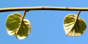 Kiwi Frucht braeunlich Blatt gruen Actinidia chinensis 04